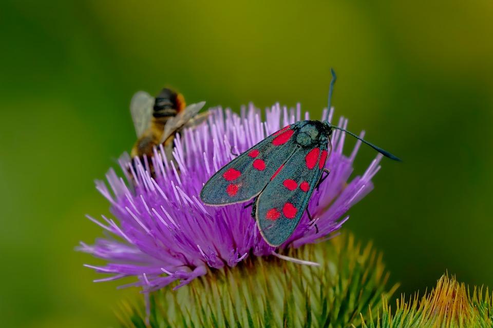 Six Spot Burnet Moth, Bee, Flower, Thistle, Moth