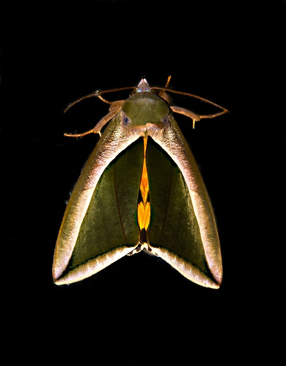 Fruit Piercer Moth, Moth, Green, Brown, Yellow, Bold