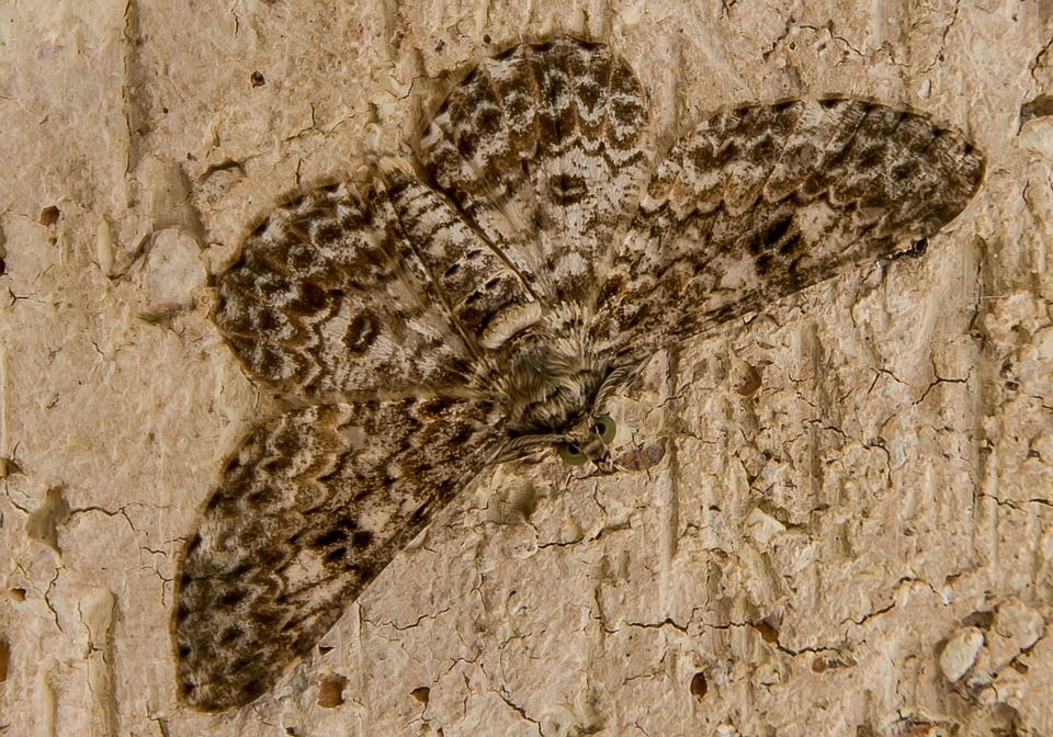 Moth, Insect, Large, Cream, Brown, Pattern, Wild, Wing