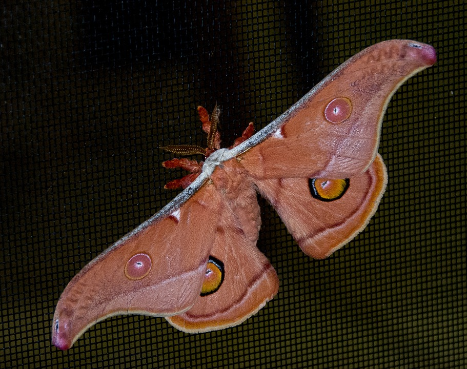 Moth, Large, Insect, Brown, Black, Blue, Pattern, Bold