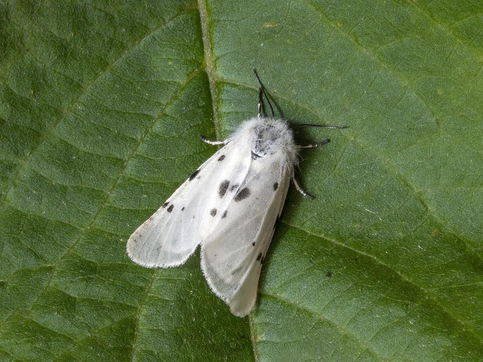 Moth, Macro, Muslin, Insect, Nature, Wings, Lepidoptera