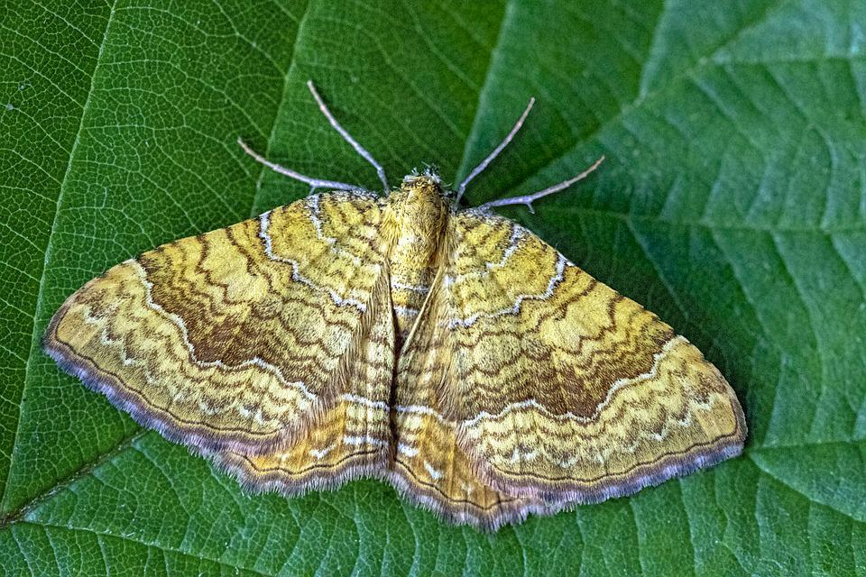 Yellow- Shell, Moth, Wings, Pattern, Nature