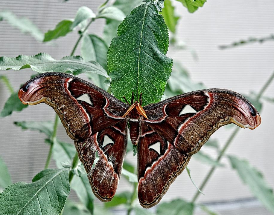 Attacus, Atlas, Moth, Butterfly, Fly, Subtropical