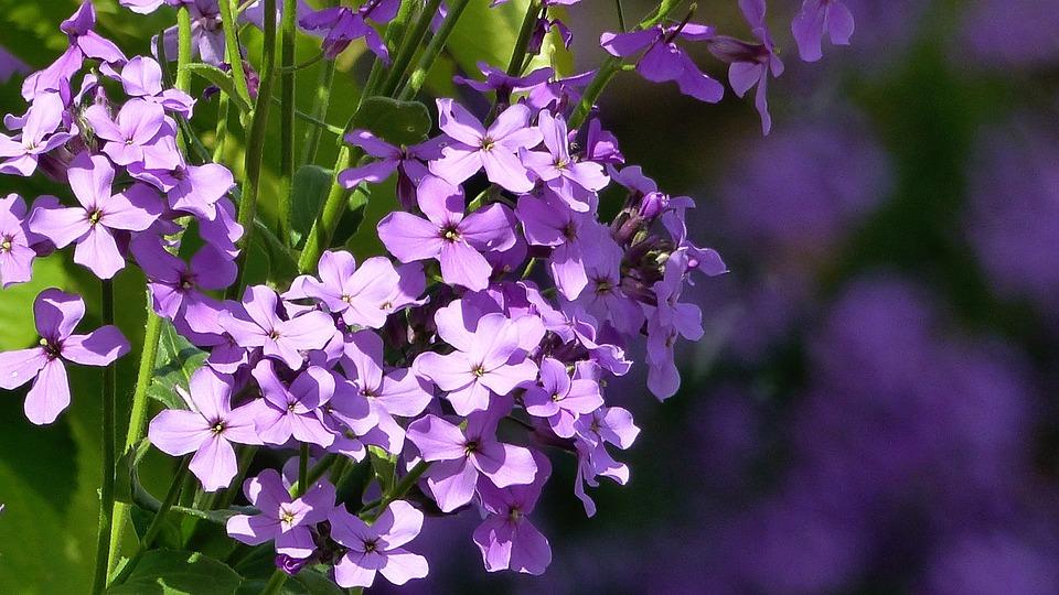 Gilliflower, Violet, Cottage Garden, Moth-willow