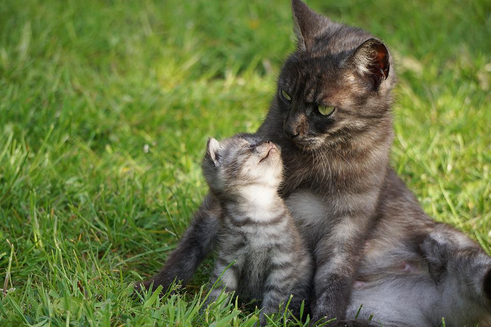 Cat, Motherly Love, Mother Cat With Kitten, Snuggle
