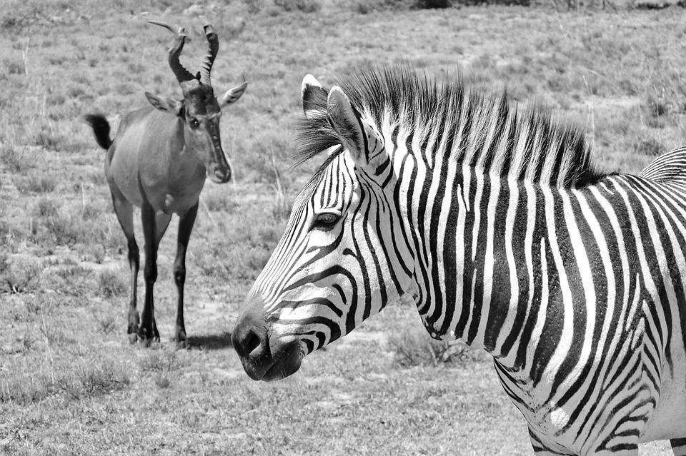 Zebra, Hartmann's, Mother, Child, Baby, Zebra Baby