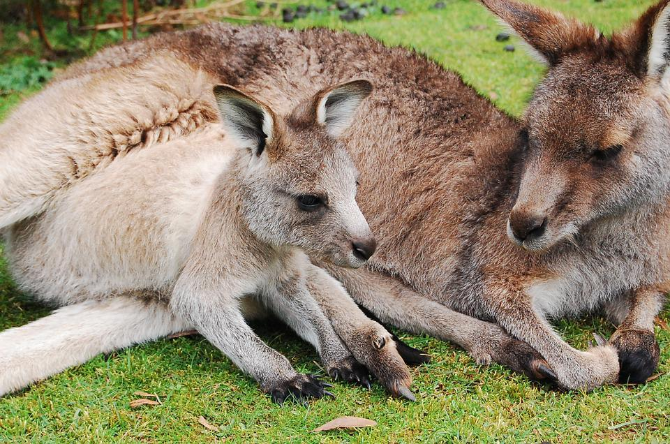 Kangaroo Joey Wallaby Baby Cute Pouch Mother