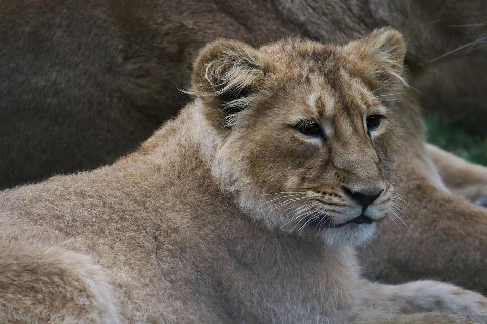 Cub, Mom, Mother, Nature, Predator, Young, Wildlife