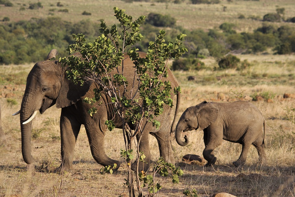 Elephant, Big, Cow, Calf, Mother, Child, Young, Follow
