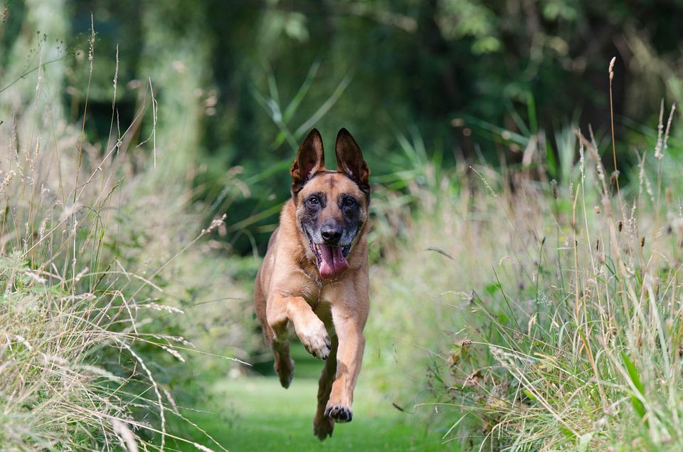 Running Dog, Motion Recording, Malinois