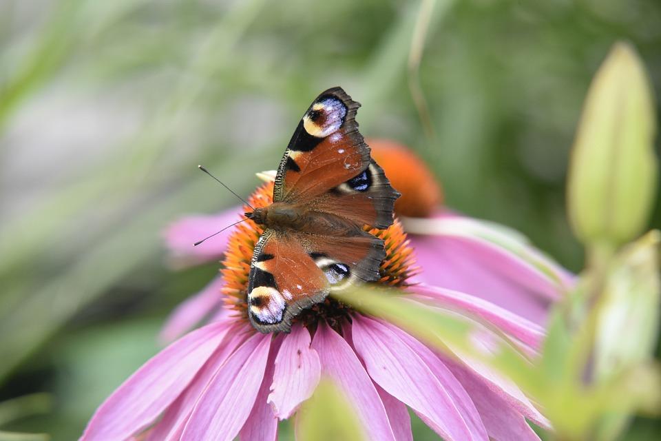 Motyl, Kwiat, Jeżówka, Nature, Animal, Flower