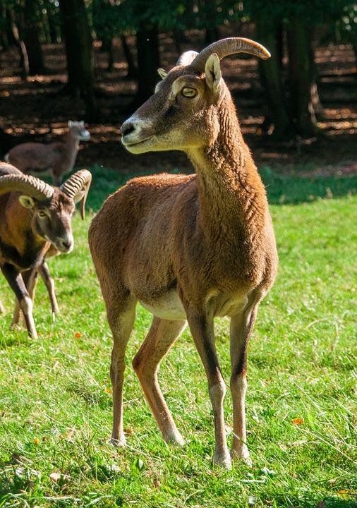 Mouflon, Wild Animal, Aries, Wild, Ungulate, Horns