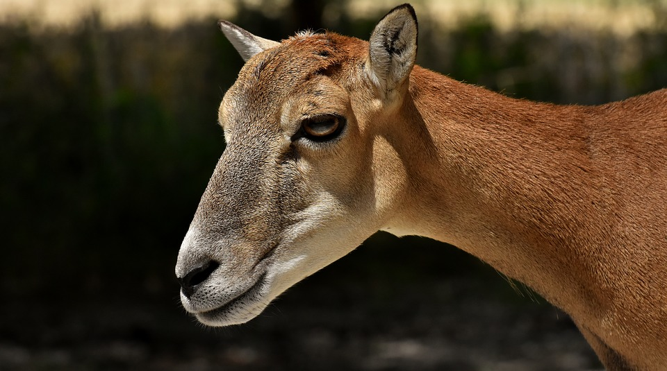 Mouflon, Wild Animal, European Mouflon, Ungulate, Wild