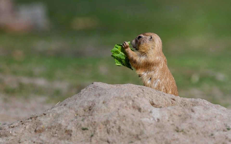 Prairie Dog, Rodent, Mound Of Earth, Small Animal