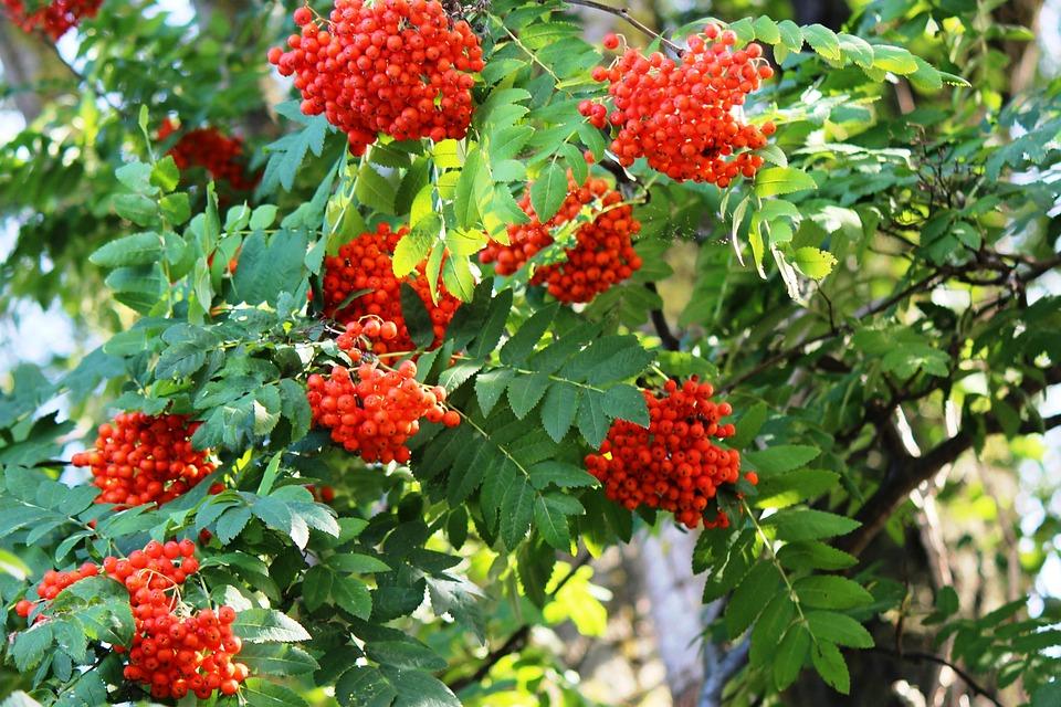 Tree, Mountain Ash, Rowanberries, Berries, Red