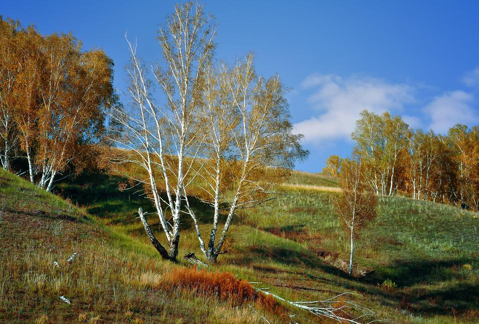 Mountain Birch, Nature, Landscape, Fall, Forest, Slope