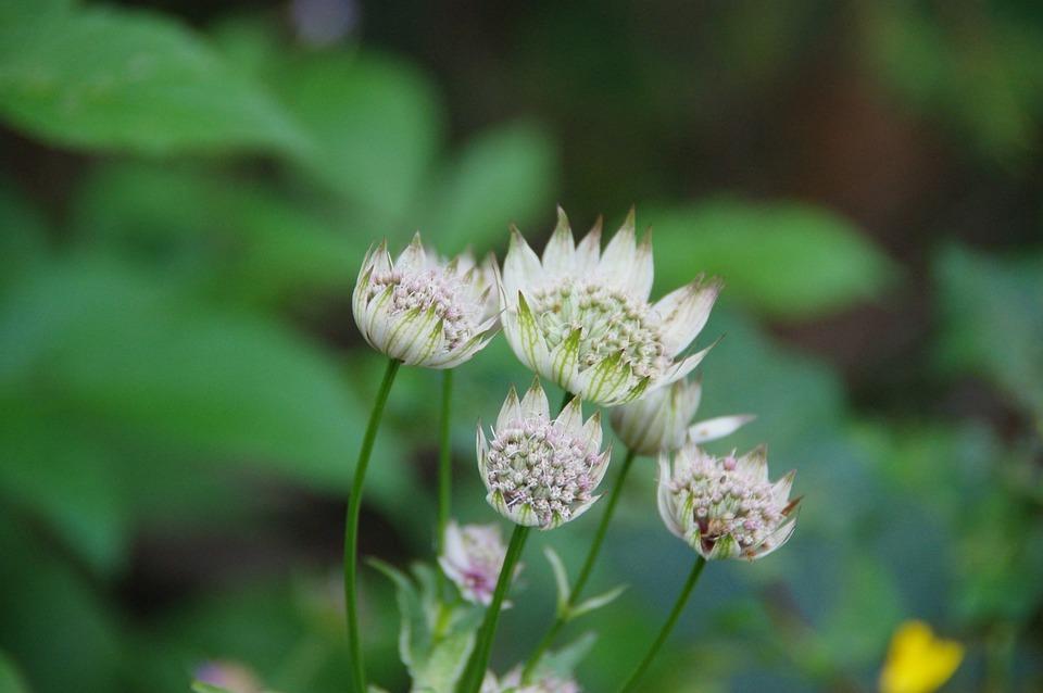Free photo mountain flower great masterwort nature alps white max great masterwort alps flower white mountain nature mightylinksfo
