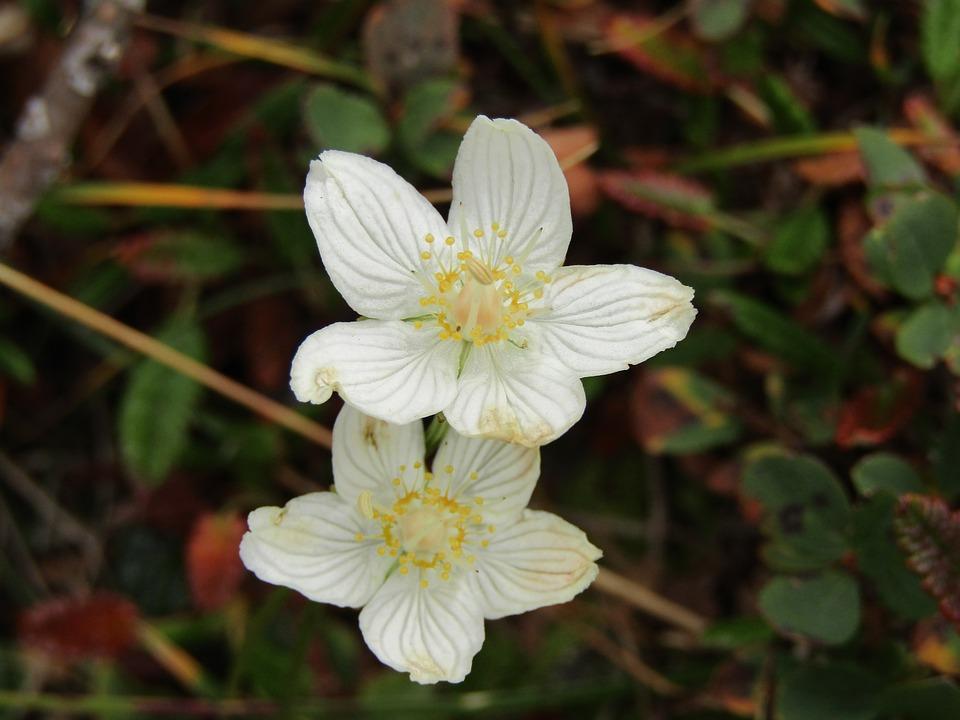 Flowers, Mountain, Misurina, Auronzo Di Cadore, Cadore