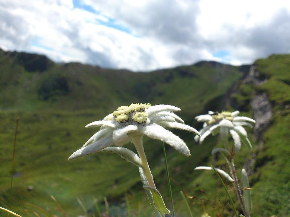 Edelweiss, Mountain Flowers, Mountains