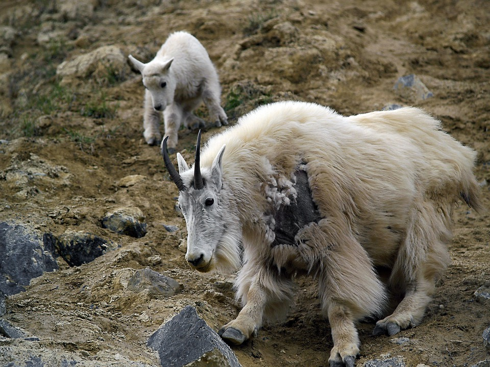 Mountain Goat, Canadien Rockys, Animal, Nature