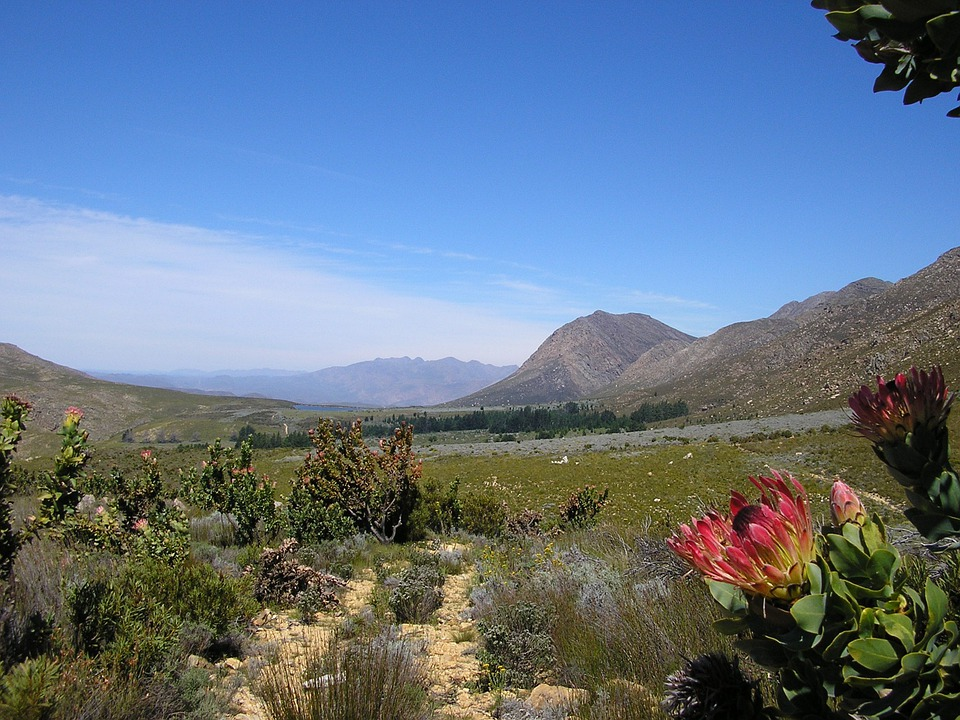 Protea, Fynbos, Mountain, Gravel Road, Landscape
