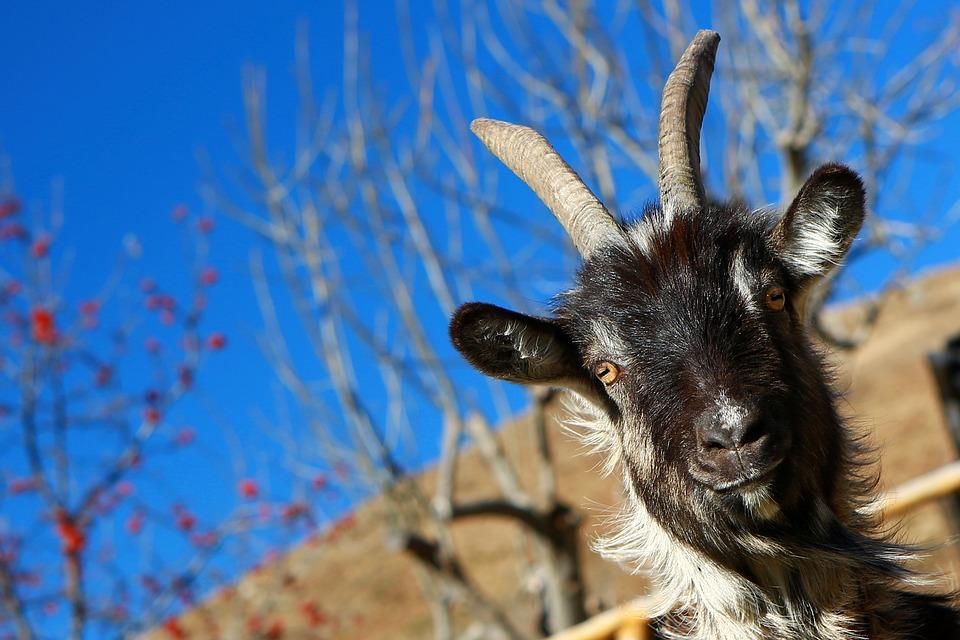 Capra, Animal, Mountain, Horns, Nature, Campaign