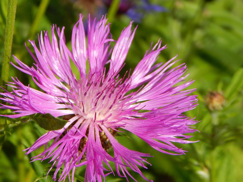 Mountain Knapweed, Blossom, Bloom, Flower, Summer