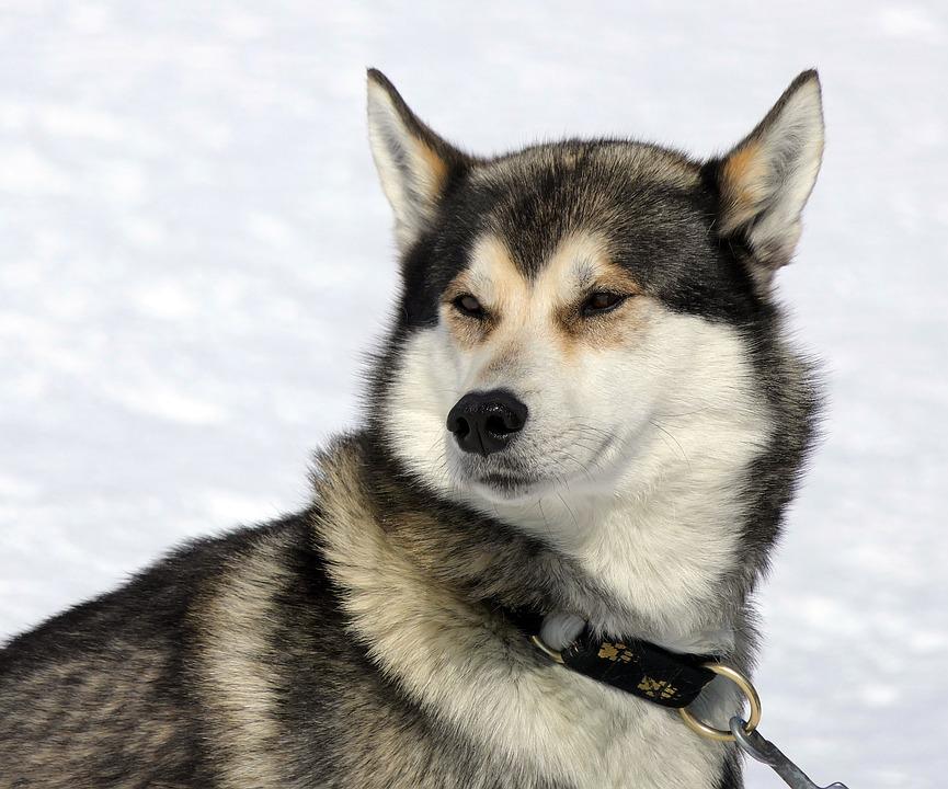 Dog, Husky, Snow, Mountain, Canine, Mammal
