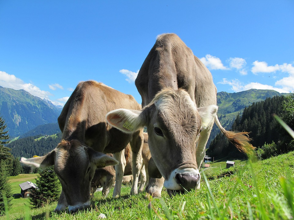 Cows, Austria, Pasture, Landscape, Mountain Meadows
