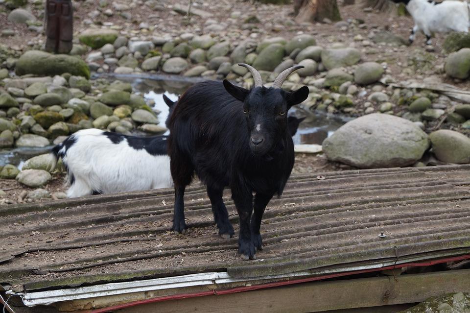 Animal, Capra, Sheep, Mountain, Nature, Horns, Prato