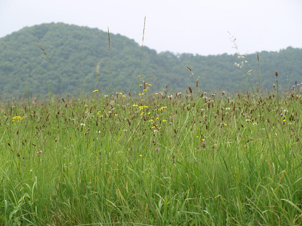Summer Meadow, Grasses, Meadow, Mountain