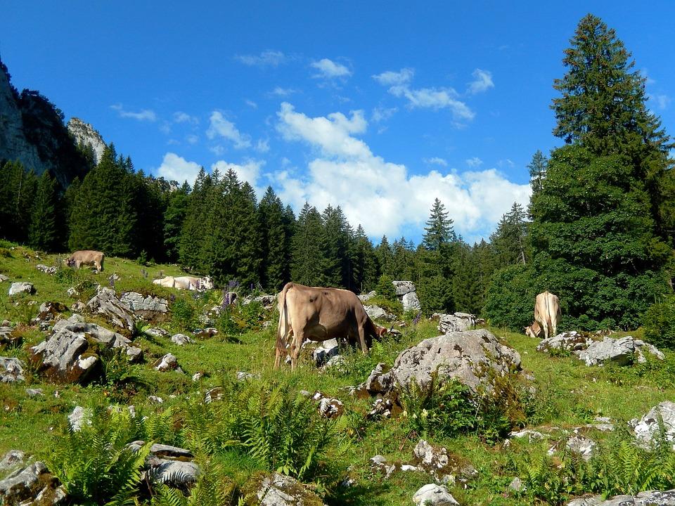Cows, Mountain World, Alpine, Nature, Mountains