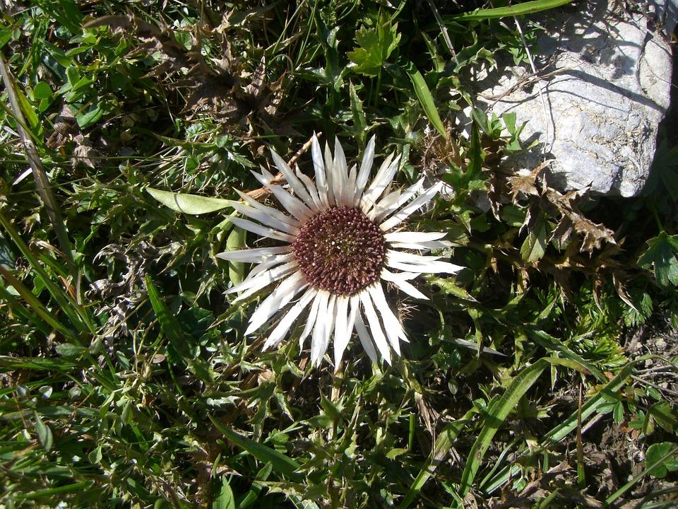 Flowers, Mountains, Flora, Live, Spring, Alpine Flower