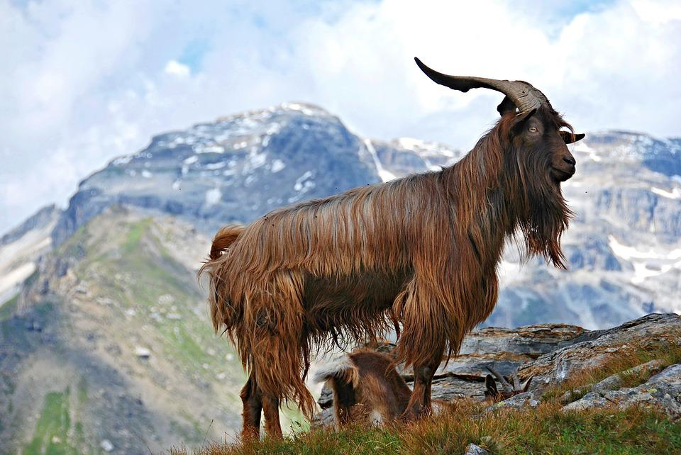 Animal, Livestock, Goat, Mountain Goat, Mountains