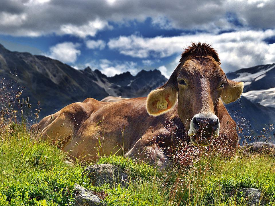Cow, The Alps, Mountains, Rest, Clouds, Landscape