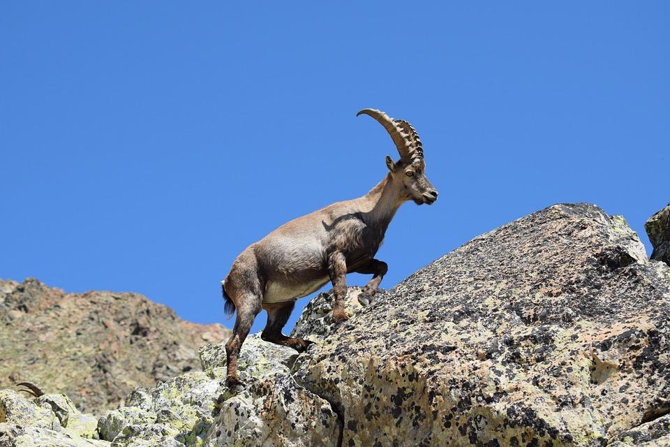Ibex, Nature, Animal, Alpine, Mountains, Meeting