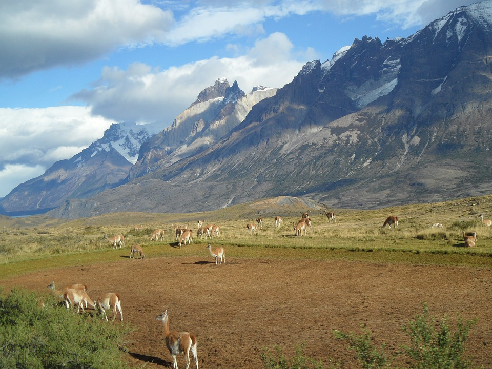 Patagonia, Alpacas, Mountains, Chile