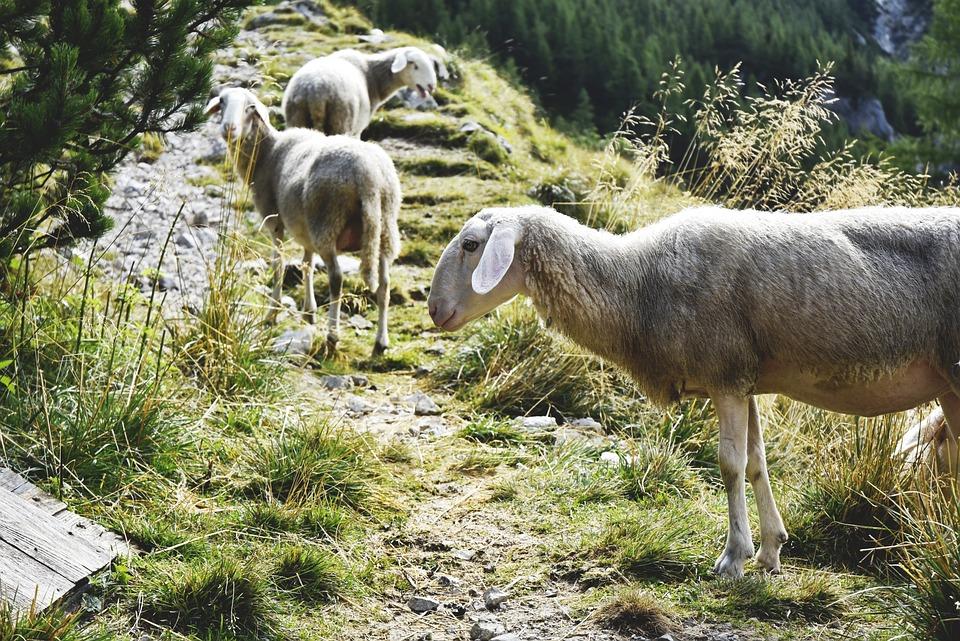 Sheep, Mountains, Mountains Sheep, Julian Alps