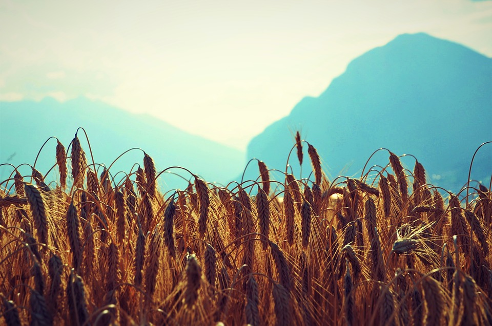 Wheat, Field, Mountains, Cereals, Sky, Grain, Horizon