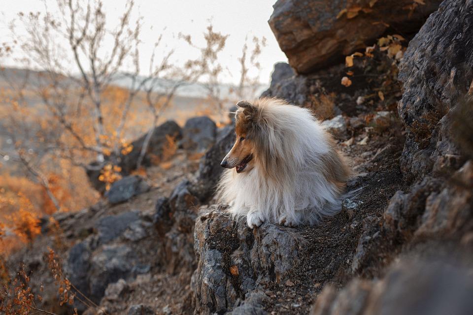 Mountainside, Dog, Pet, Rough Collie, Animal