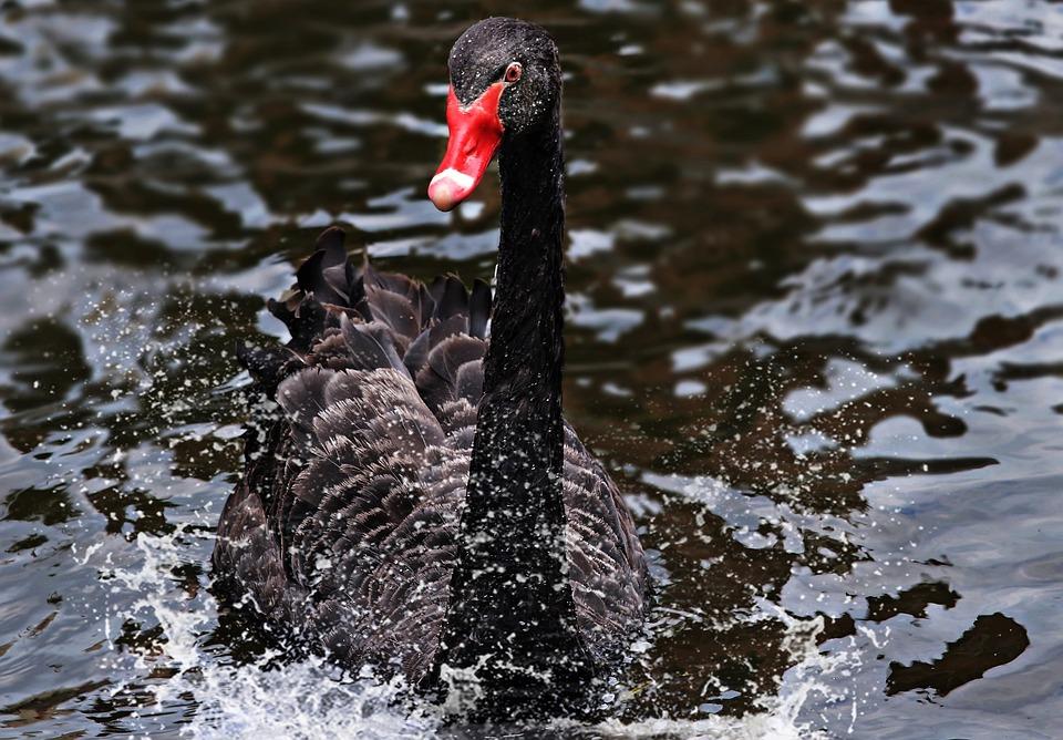 Mourning Swan, Swan, Black, Black Swan, Bird, Animal