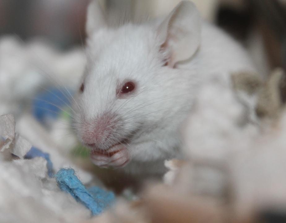Rodent, Cute, Mammal, Little, Animal, Mouse, Mice