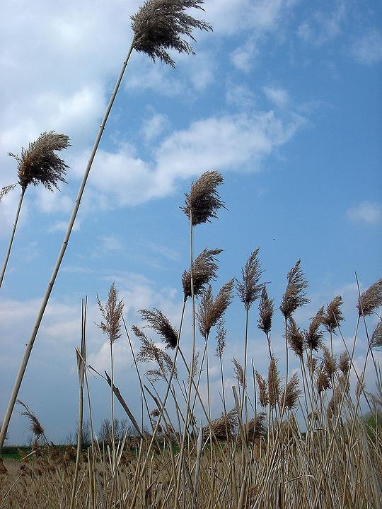 Dry Grass, High, Sky, Wind, Movement