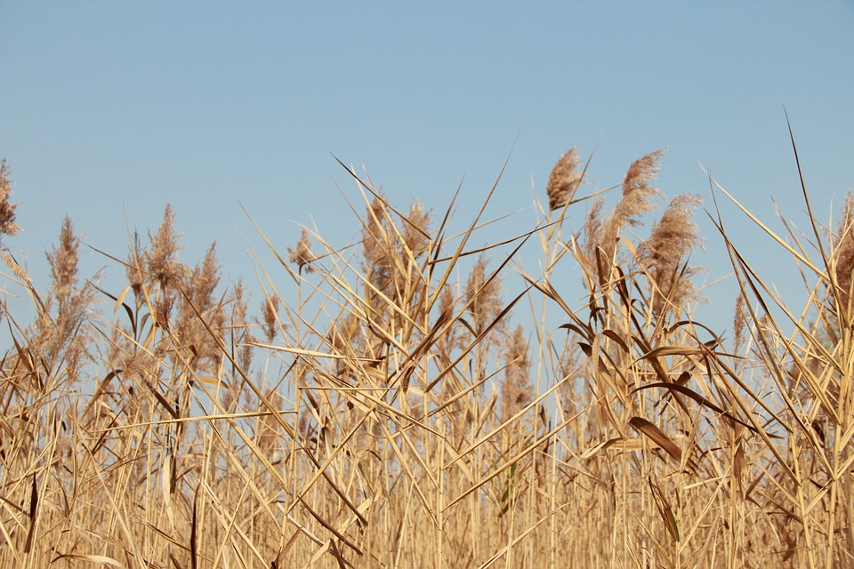The Scenery, Romantic, Movies, In Wheat Field, Wheat