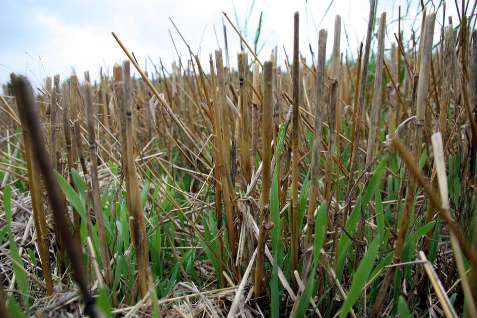 Stubble, Field, Nature, Agriculture, Harvest, Mow