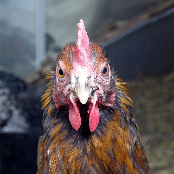 Chicken, Large, Bird, Mr, Poultry, Animal, Farm