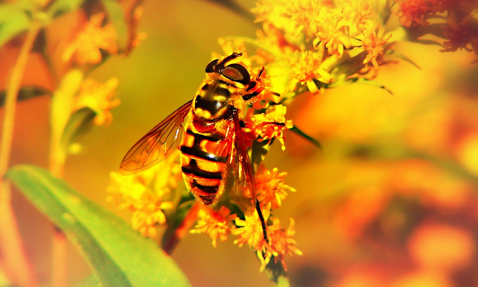 Gnilun, Bzygowate, Muchówki, Insect, Flower, Animals