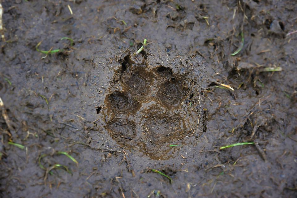 Track, Mud, Dog, Close Up, Print, Brown, Hungarian