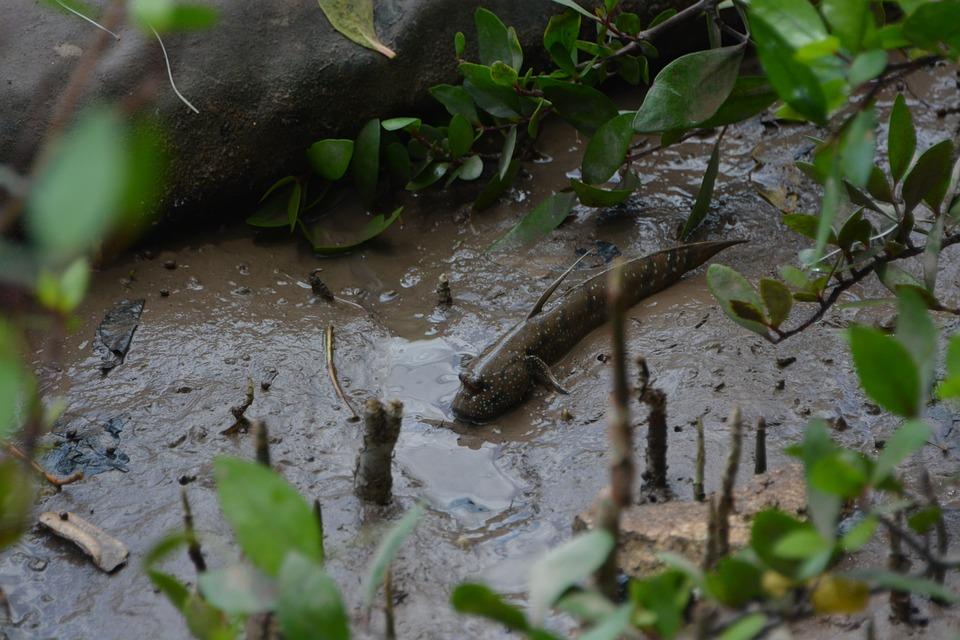 Fish, Mud Skipper, Mud, Mud Fish, Vietnam, Nature