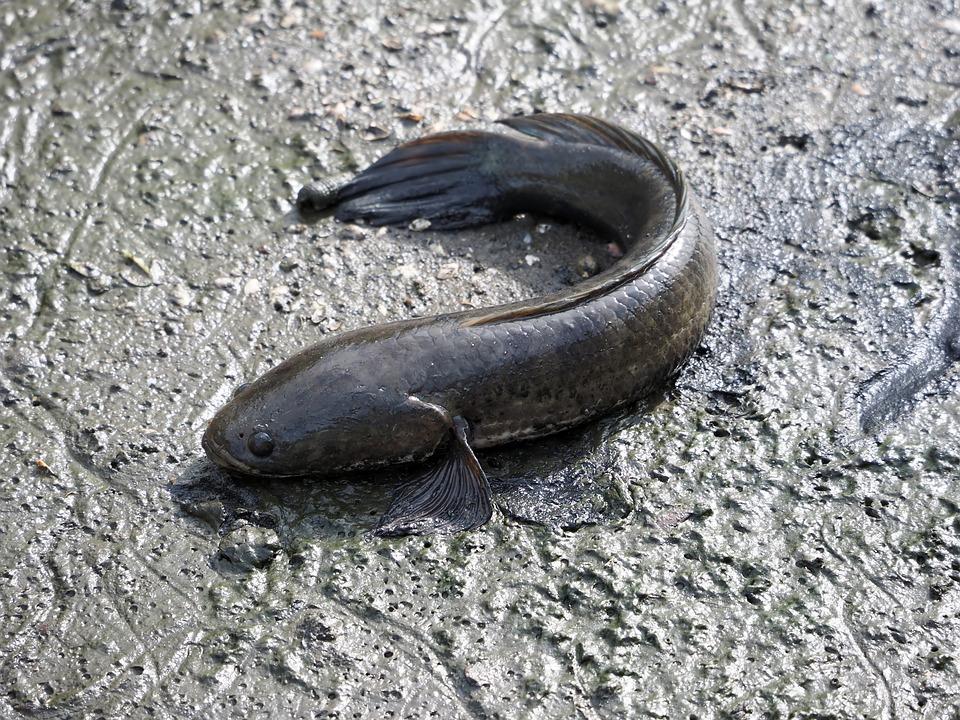Mud Snake Fish, Local, Mud, Outdoor, Natural, Nature